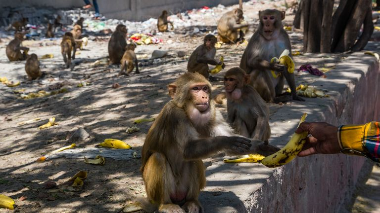 Men give bananas to monkeys gathered on the side of the road