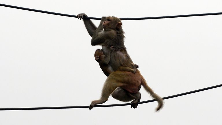 A macaque monkey, with an offspring clutching onto its torso, balances between two power lines above a parking lot in downtown New Delhi