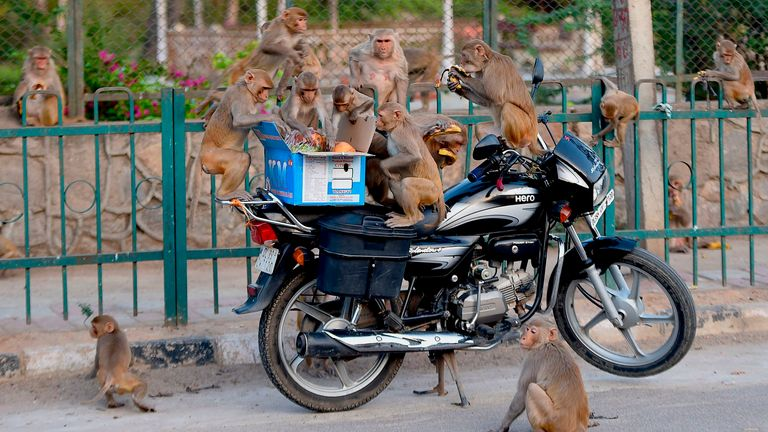 Monkeys get on a motorcycle to eat fruits from a box during a the lockdown in New Delhi