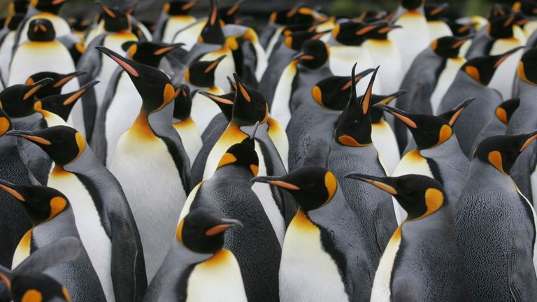 A colony of King penguins is pictured on July 1, 2007 on Possession Island in the Crozet archipelago in the Austral seas. (Photo by MARCEL MOCHET / AFP) (Photo credit should read MARCEL MOCHET/AFP via Getty Images)