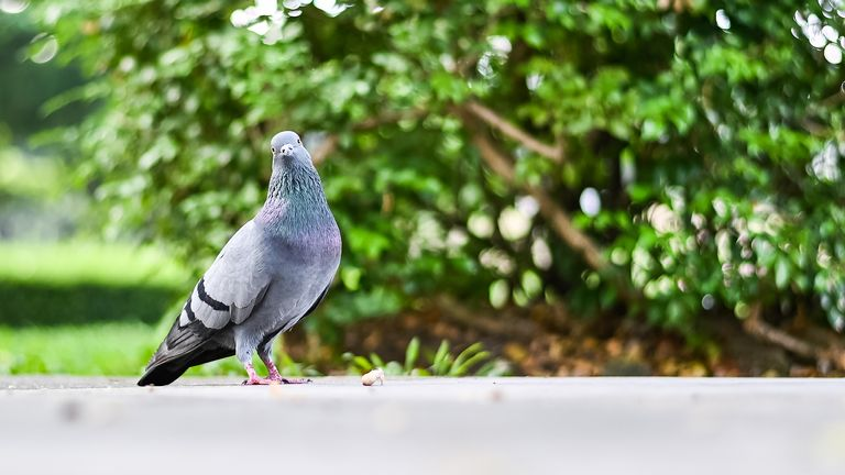 The pigeon has been accused of being a Pakistani 'spy'