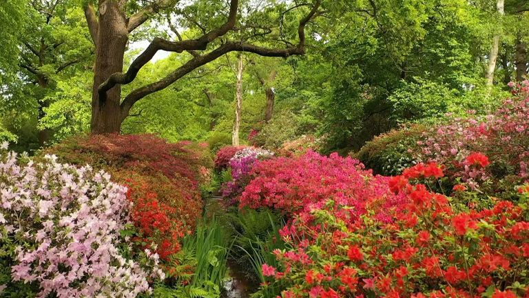 The start of May heralds peak flowering season, but the Isabella Plantation is temporarily closed due to lockdown