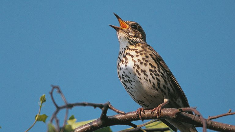 A song thrush singing whilst perched on a branch against a blue sky. Pic: Ben Andrew RSPB Images