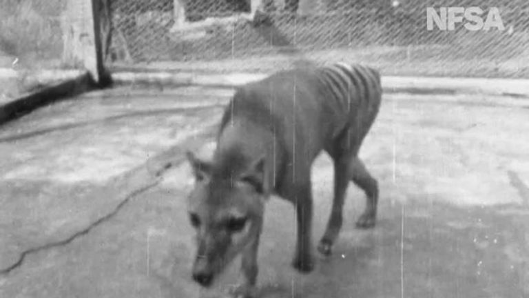 Tasmanian tiger. Pic: National Film And Sound Archive Of Australia