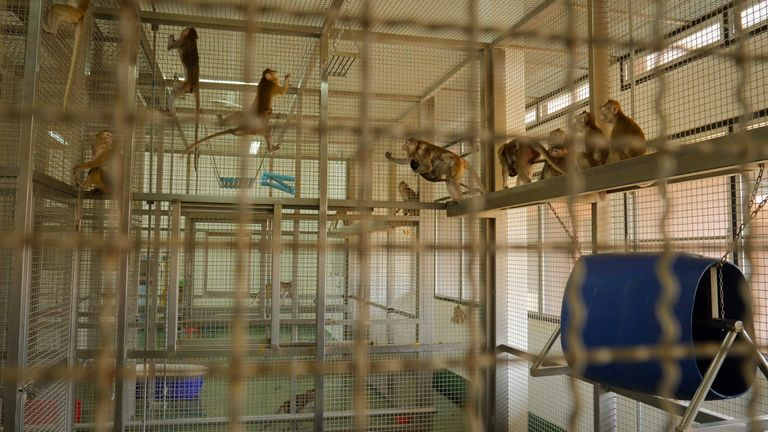 These monkeys, which are not part of the vaccine programme, are part of the same breeding colony as those being tested on
