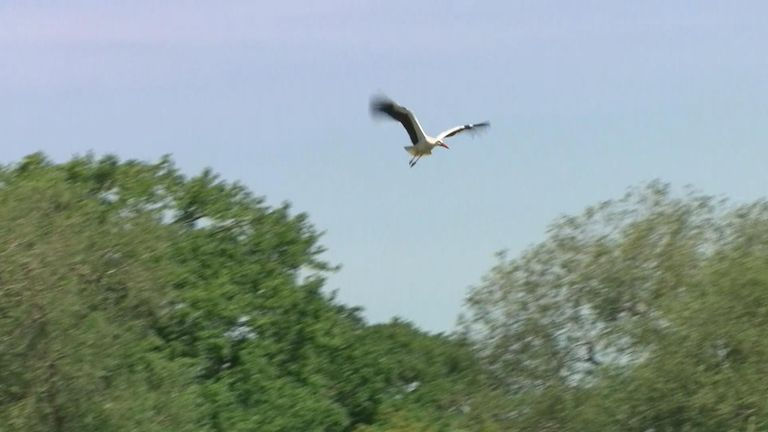 The first wild white stork chicks have hatched in the UK for what is believed to be hundreds of years.