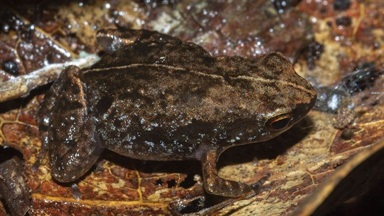 The stump-toed Stumpffia froschaueri was discovered in a north-western region of Madagascar.