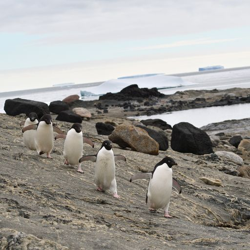 Antarctic penguins are 'happier with less sea ice', scientists find