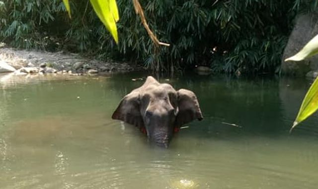 Campaign site flooded with petitions over death of elephant who ate pineapple filled with firecrackers