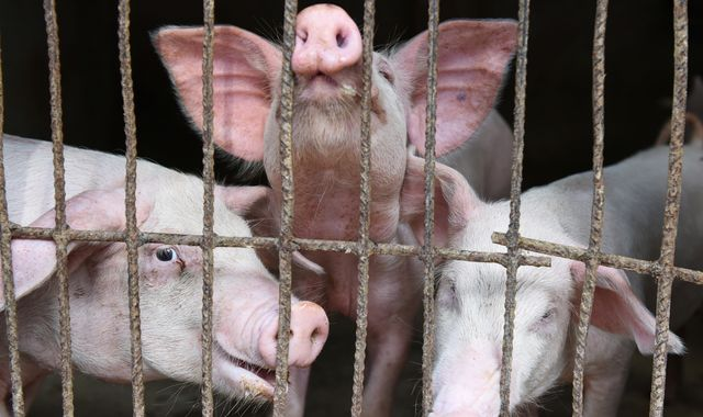 New swine flu found in pigs in China with 'human pandemic potential'