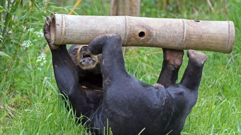 A sun bear eats from a wooden pole at Chester Zoo after the attraction launched a campaign to raise money to help keep the zoo running and the animals cared for following the government's confirmation that the zoo may have to stay closed indefinitely. PA Photo. Picture date: Thursday June 4, 2020. Photo credit should read: Peter Byrne/PA Wire