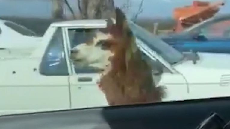 Police in Australia are amused to find an alpaca running alongside their car