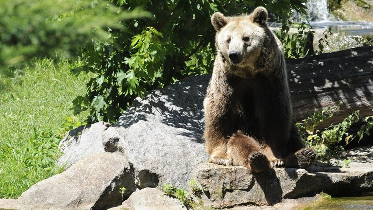 A brown bear sits in his enclosure at the Zoologischer Garten zoo in Berlin
