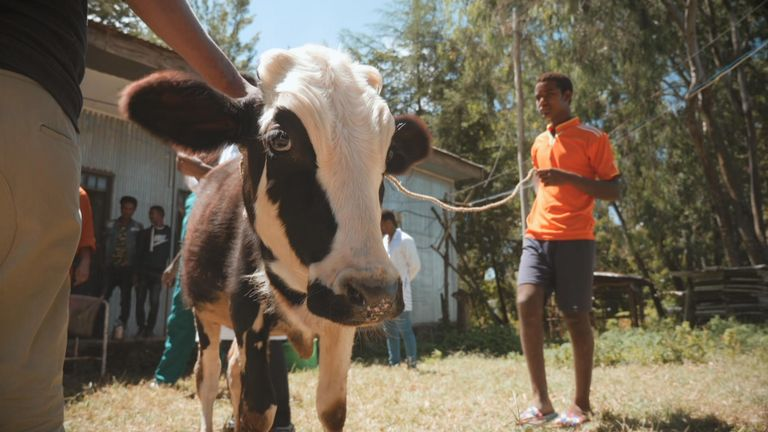 A one-year-old calf nearly ate himself to dath on plastic.