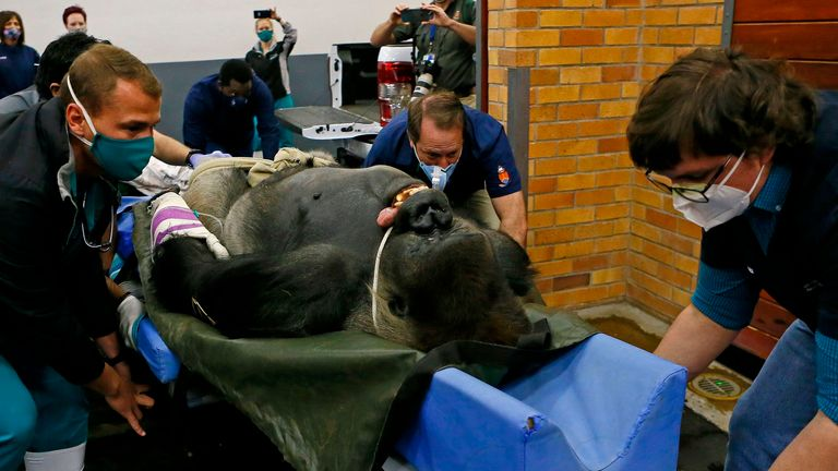Specialists from the Johannesburg Zoo and the University of Pretoria push Makokou towards the scanner