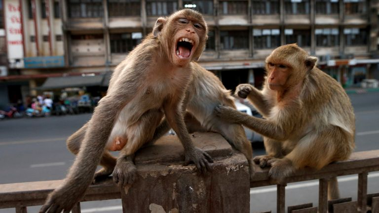 There are about 2,000 macaques in the small city of Lopburi
