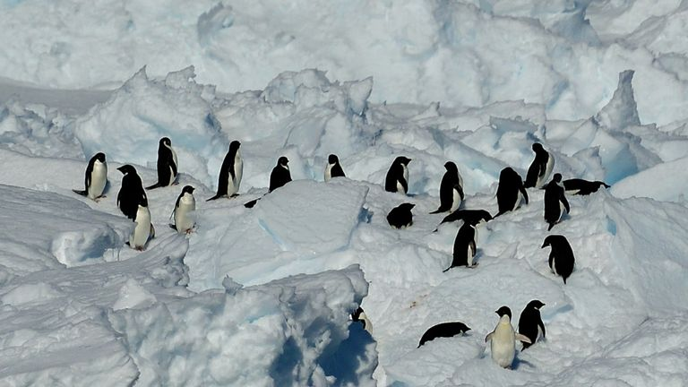 Adelie penguins - the most common species of penguin in Antarctica - are happier when there is less sea ice, researchers say