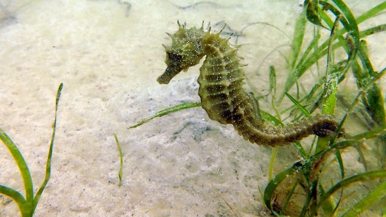 The discovery at Studland Bay was the largest there since 2008. Pic: The Seahorse Trust