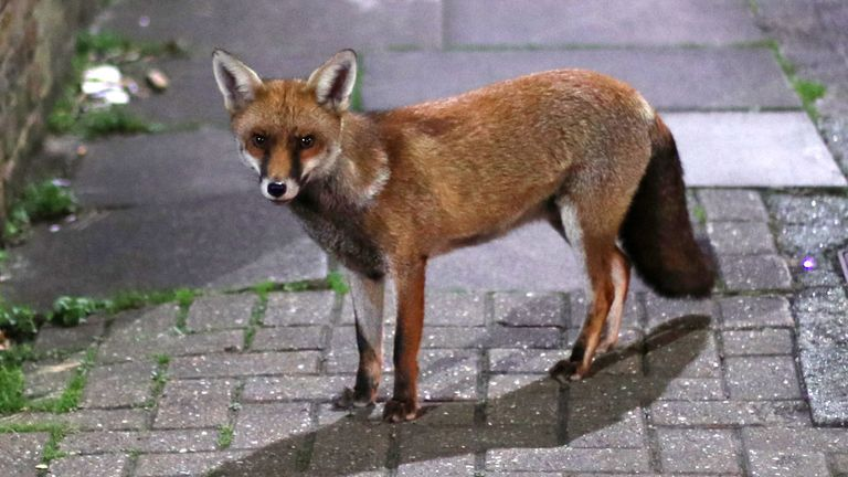 An urban fox in north London.