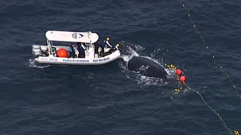 Crews from Sea World and the Department of Fisheries helped the whales out of the nets.