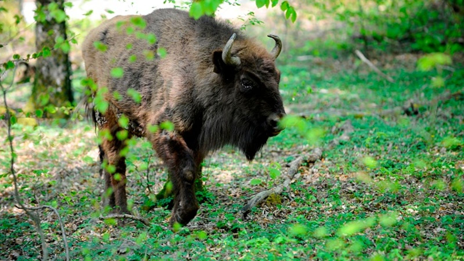 Bison to be introduced into UK woodland (and they'll have a job to do)