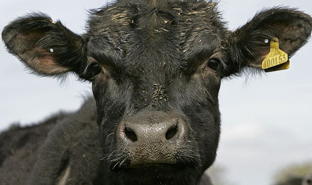 Burping cows drive record methane emissions