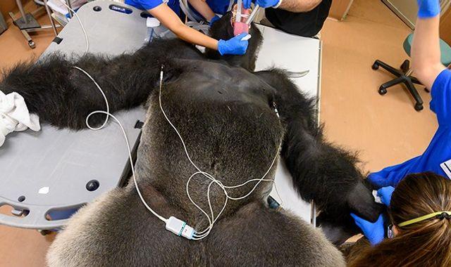 Coronavirus: Shango the gorilla given COVID-19 test after fever