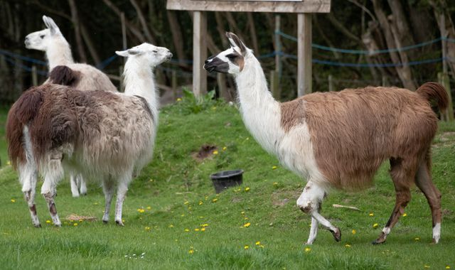 Coronavirus: Antibodies from llamas could help treat COVID-19 patients