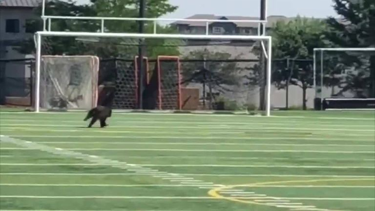 A bear cub has been spotted running across a Colorado American football field.