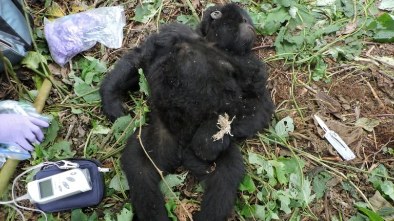 Theodore, a wild baby gorilla receives treatment after Virunga Park rangers secured him from a poachers' snare at the Virunga National Park