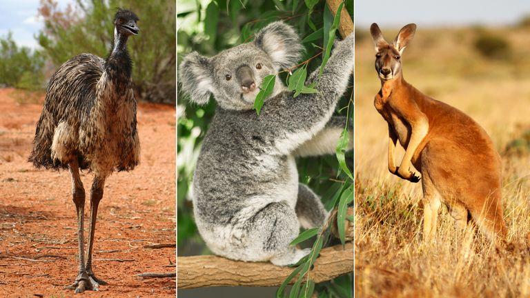 Emu, Koala, Kangaroo