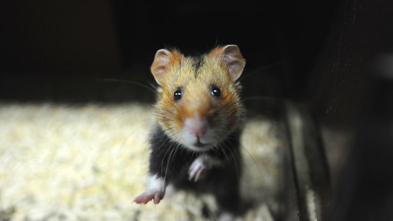European hamsters are now close to extinction