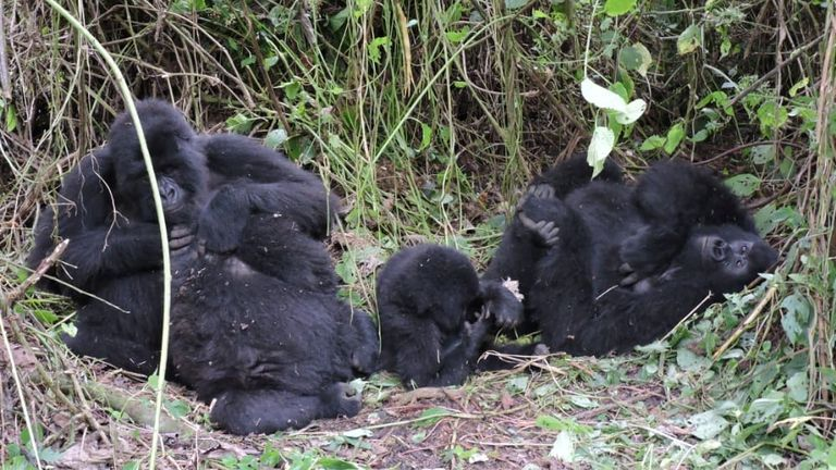 A gorilla family is seen at the Virunga National Park in the Democratic Republic of Congo