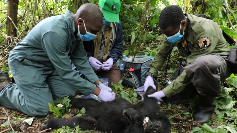 Veterinary and Virunga Park rangers remove a poachers' snare from the hand of Theodore, a wild baby gorilla at the Virunga National Park