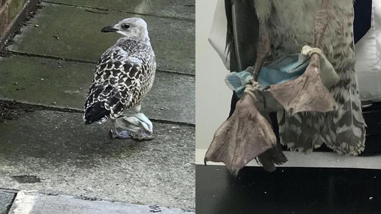 The RSPCA said staff at a local car dealership noticed the bird was struggling to walk for approximately a week Credit: RSPCA