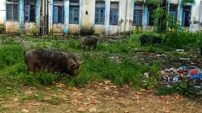 Pigs roam the hospital grounds feeding on waste