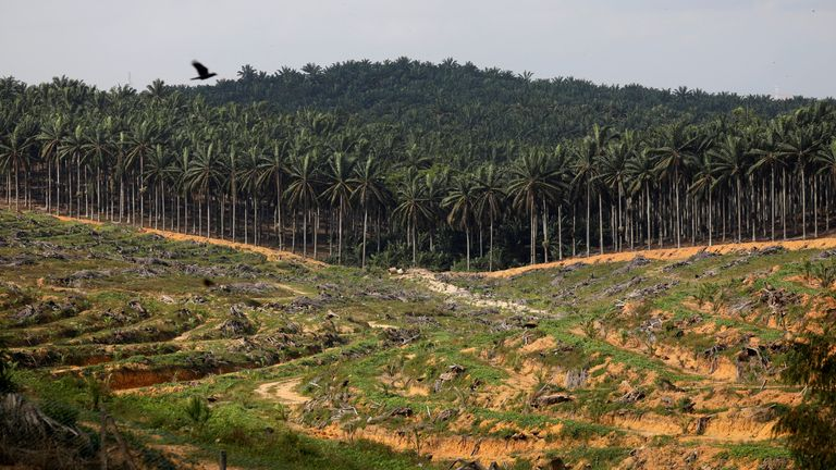 Land cleared for the plantation of oil palm in Malaysia