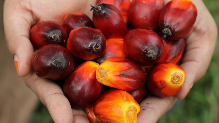 Palm oil fruits shown off by a worker at a plantation in Malaysia