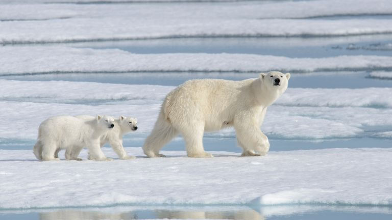 Polar bears rely on sea ice to hunt for their prey