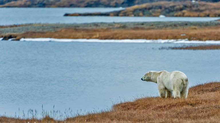 Polar bears rely on fat reserves while on land