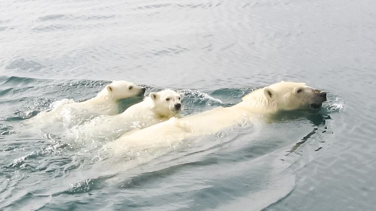 As sea ice melts polar bears have to swim further distances to catch their prey