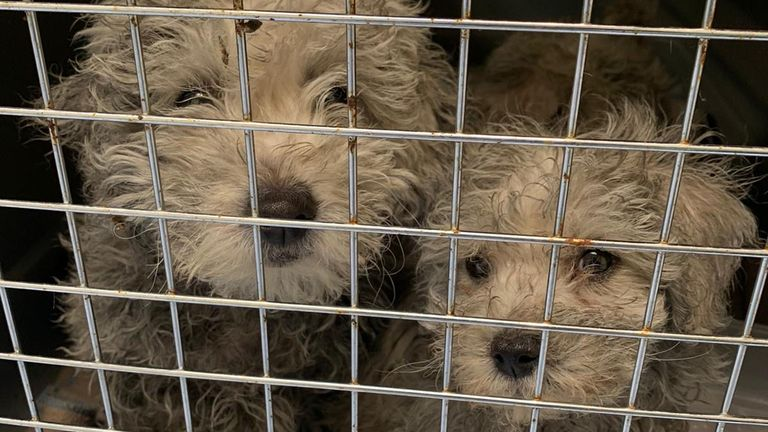 Undated handout issued by the Dogs Trust showing Havanese puppies smuggled from Romania
