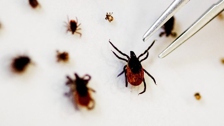 Tick specimens used for a study on the TBE tick virus, which can lead to meningitis