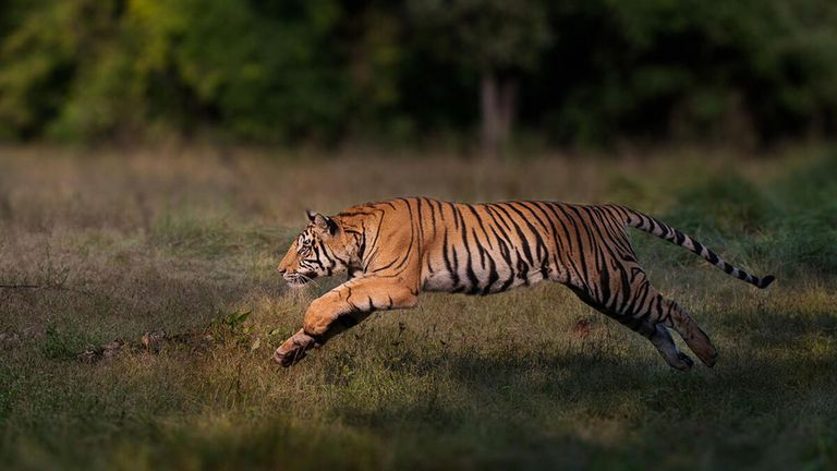 A male Bengal tiger seen leaping in Bandhavgarh National Park, India