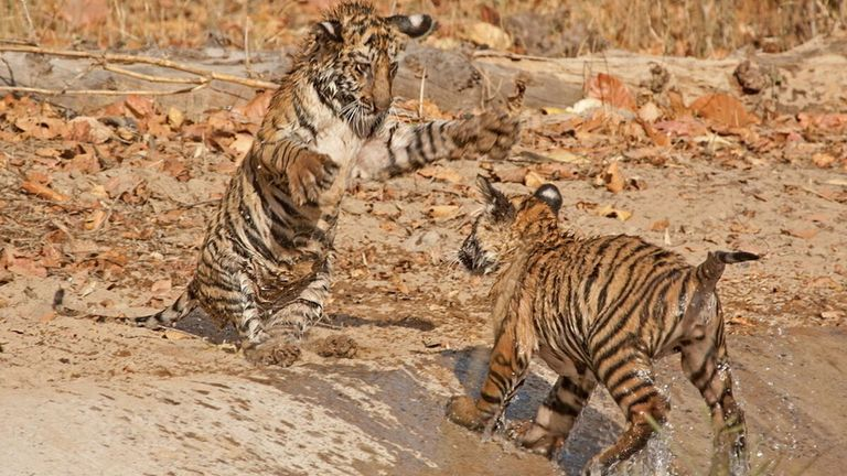 Tiger cubs play in the Bandhavgarh Tiger Reserve within Bandhavgarh National Park, India