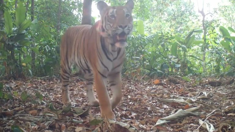 A video released for international Tiger Day shows conformation there are Tigers in western Thailand for the first time in years