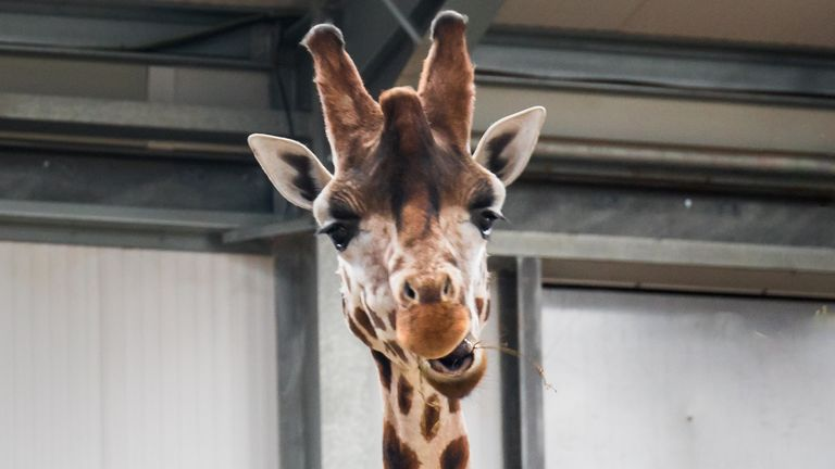 A giraffe at Twycross Zoo in Leicestershire