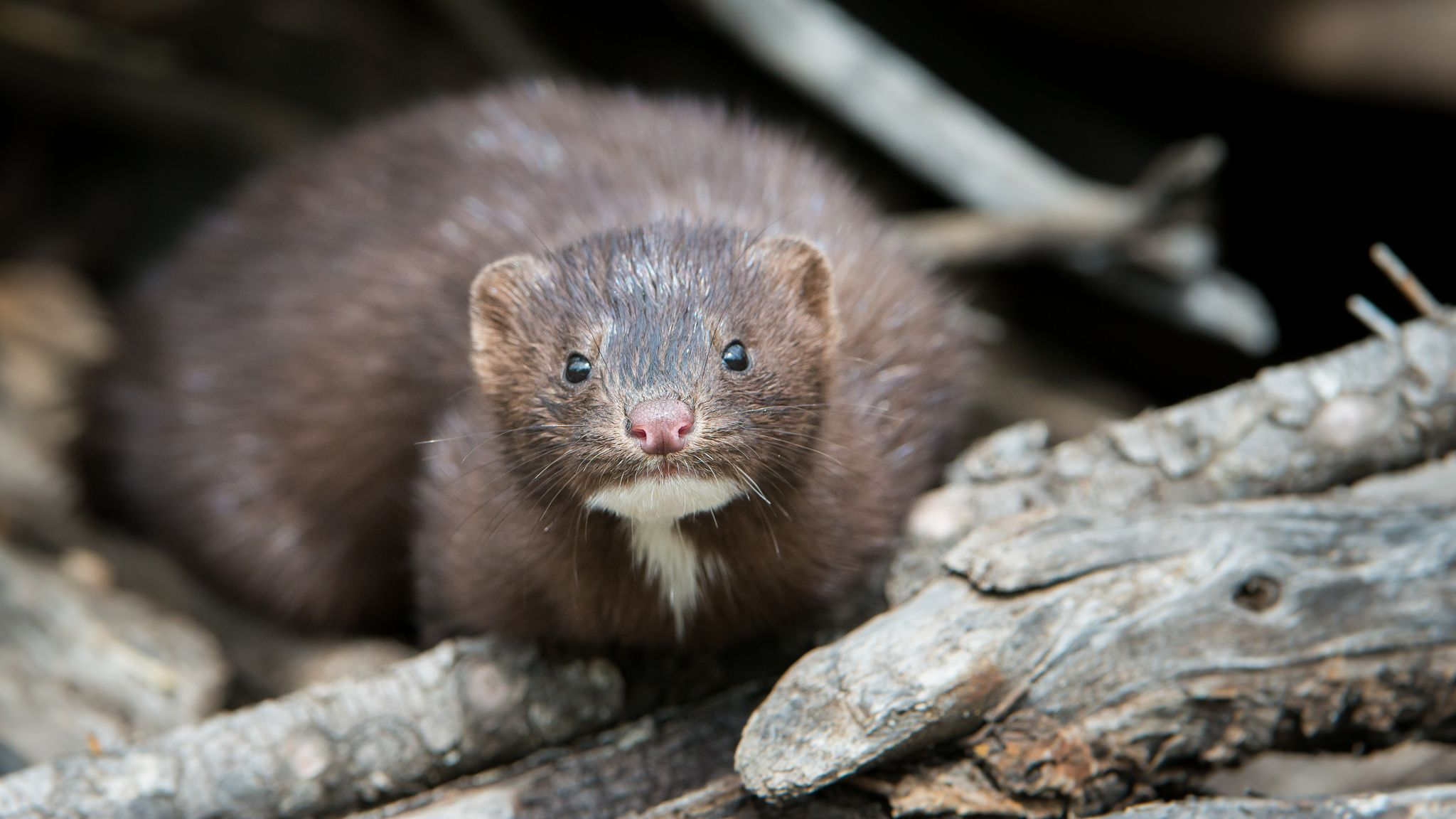 Coronavirus Outbreaks At European Mink Farms Shows Virus May Pass From Animals To Humans Science Tech News Sky News