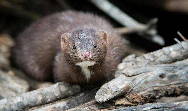 Coronavirus: Outbreaks at European mink farms shows virus may pass from animals to humans