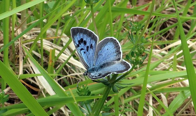 Previously extinct large blue butterfly flourishes after reintroduction